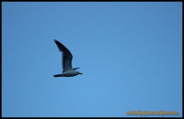 Gaviota patiamarilla (9-6-2014)