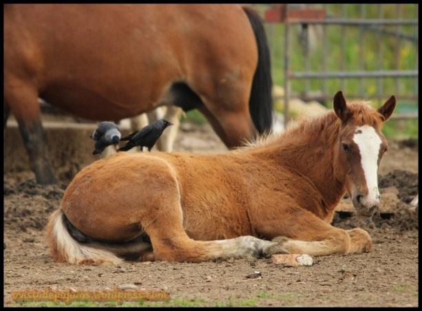 Grajilla cogiendo pelo a los caballos (1-6-2014)