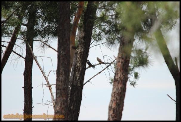 Halcones en ramas (28-6-2014)