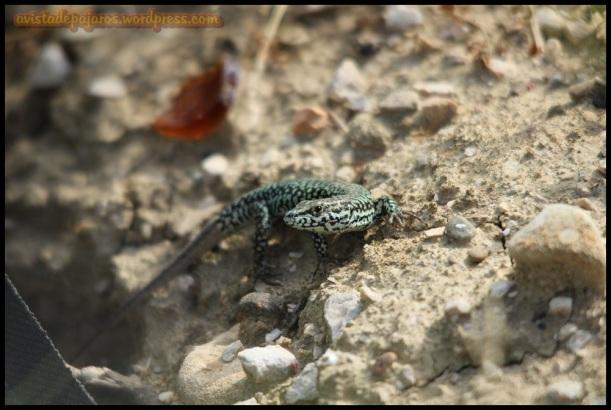 lagartija (18-6-2014)