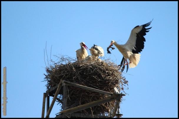 Nido de cigëñas con llegada de un adulto (31-5-2014)