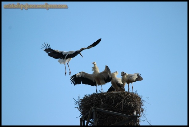 Llegando al nido (27-6-2014)