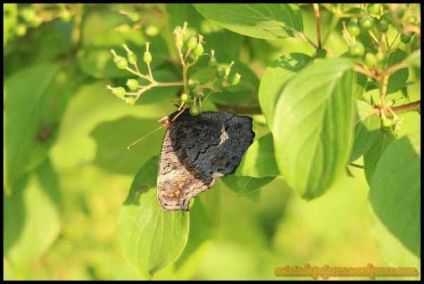 Mariposa boca abajo (16-6-2014)