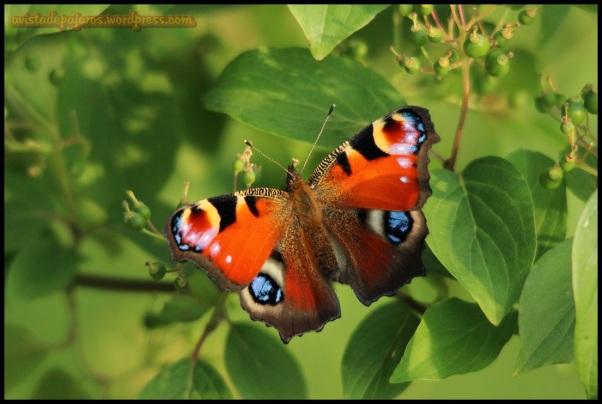 Colorido ejemplar de mariposa (16-6-2014)