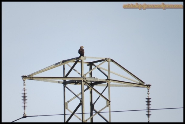 Milano negro en lo alto de una torre eléctrica (6-6-2014)