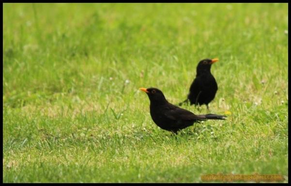 Dos mirlos machos (1-6-2014)