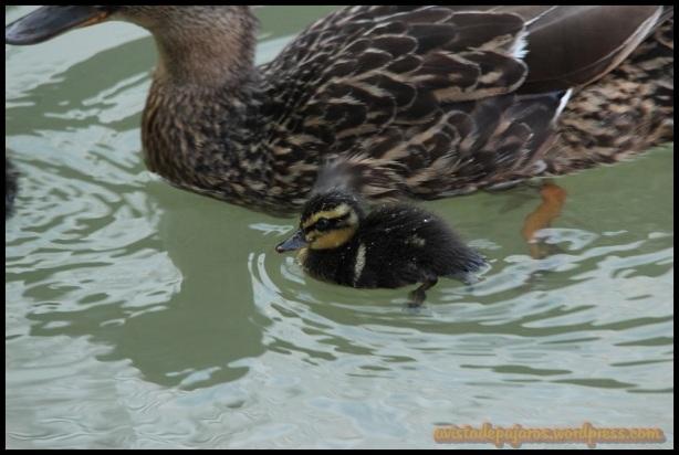 Patito con su madre (27-6-2014)