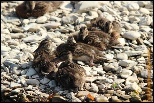Grupo de patos nacidos durante este año (9-6-2014)