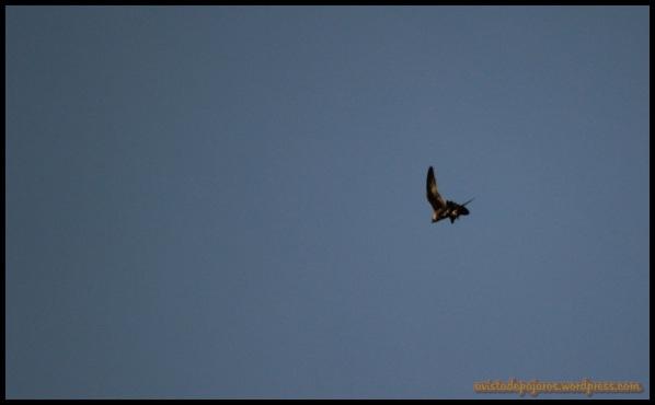 Halcón peregrino con paloma (6-6-2014)