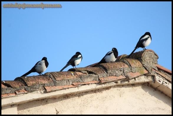 Picarazas en un tejado (16-6-2014)
