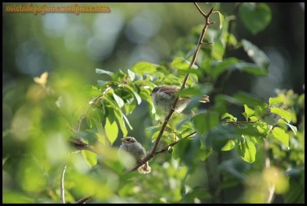 Pollos volantones de gorrión (18-6-2014)