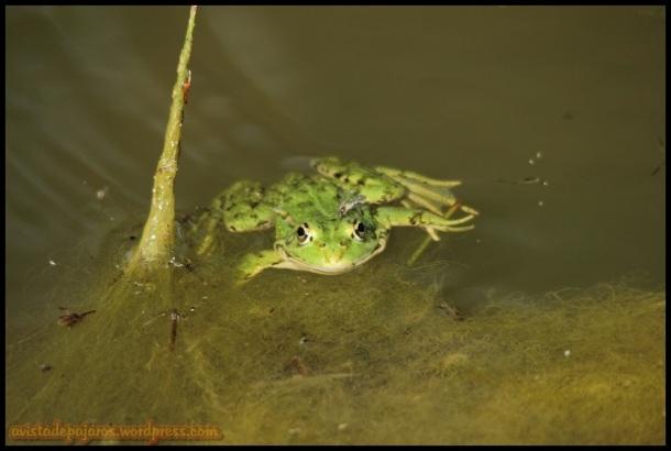 Rana verde (18-6-2014)