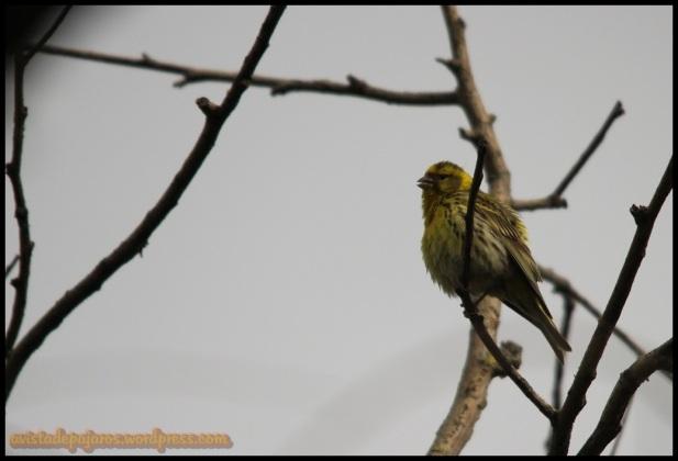Verdecillo cantando (1-6-2014)