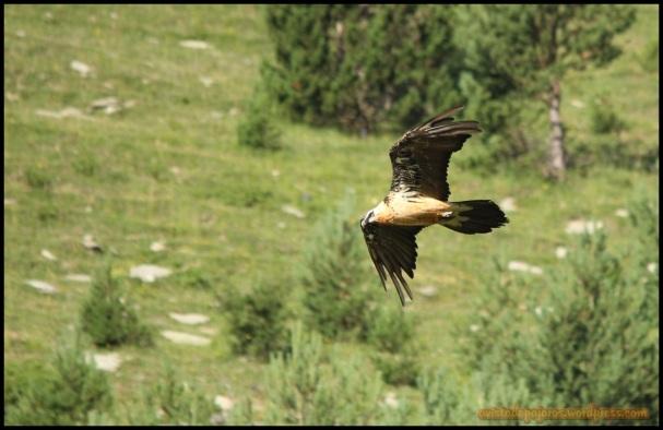 Quebrantahuesos que se dispone a aterrizar (18-7-2014)