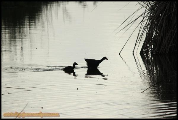 Calamón con polluelo detrás (2-7-2014)