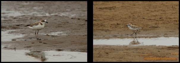 Chorlitejos patinegros (1-7-2014)