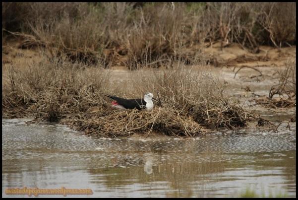 Cigüñuela en el nido (1-7-2014)