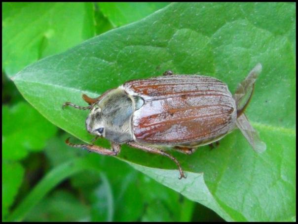 Escarabajo sanjuanero; Ana