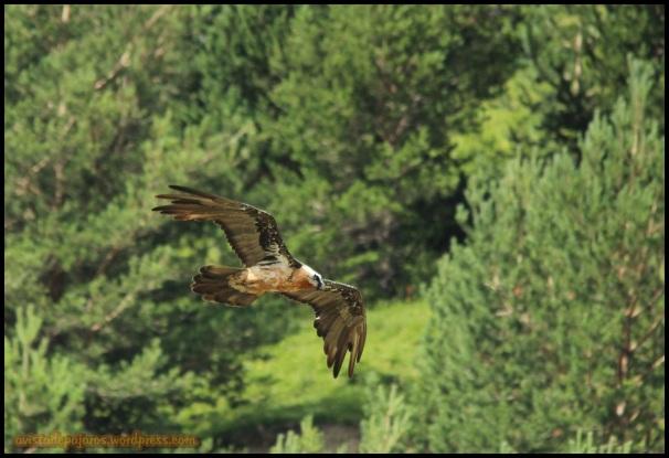 Quebrantahuesos volando (18-7-2014)