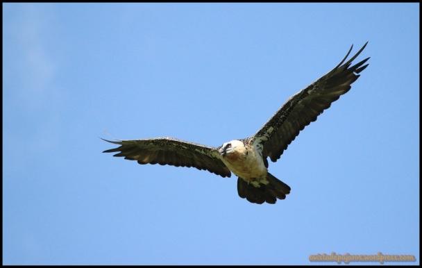 Adulto en pleno vuelo (18-7-2014)