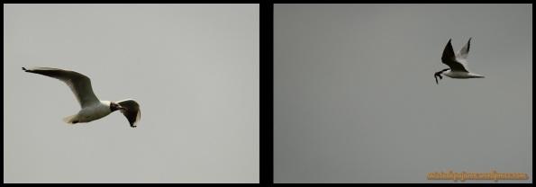 Gaviota reidora a la izquierda y pagaza piconegra a la derecha (1-7-2014)