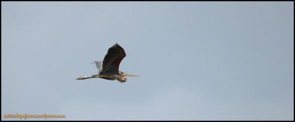 Garza imperial en vuelo (2-7-2014)
