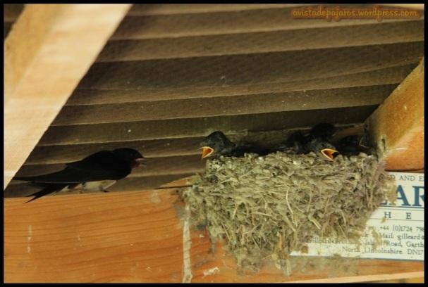 Golondrina en el nido del polluelo (1-7-2014)