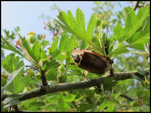 Escarabajo sanjuanero; Laida Beltzunegi