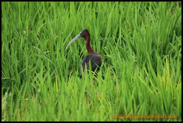 Morito entre hierbas (2-7-2014)