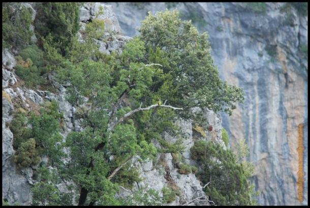 Pito real en árbol seco dentro de la garganta de Escuaín (19-7-2014)