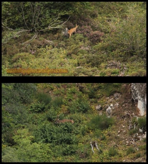 Corzo a la izquierda y ciervo a la derecha (26-8-2014)