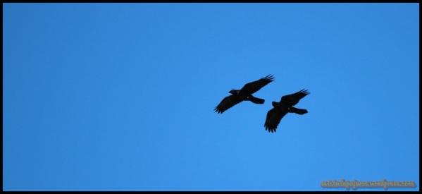 Pareja de cuervos (27-8-2014)