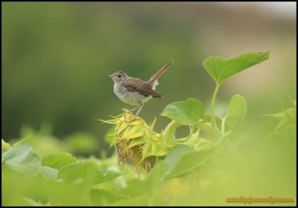 Polluelo de ruiseñor (2-8-2014)
