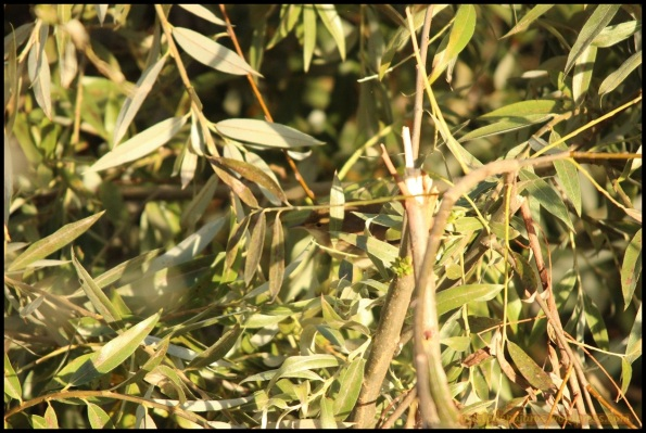 Carricero común escondido (20-9-2014)