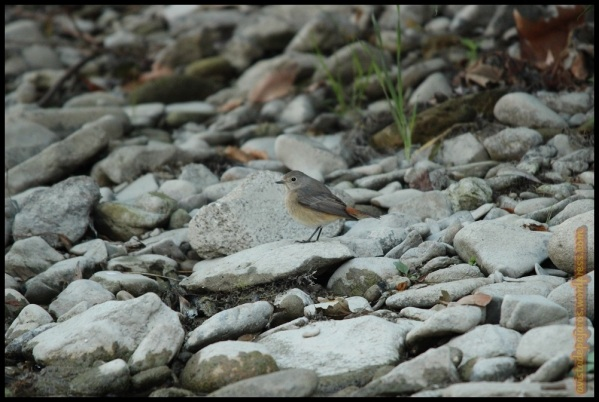 Colirrojo en la orilla (20-9-2014)