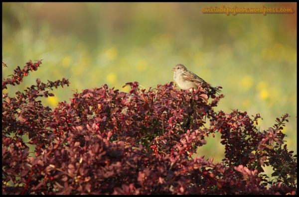 Gorrión común posado en un arbusto (7-9-2014)