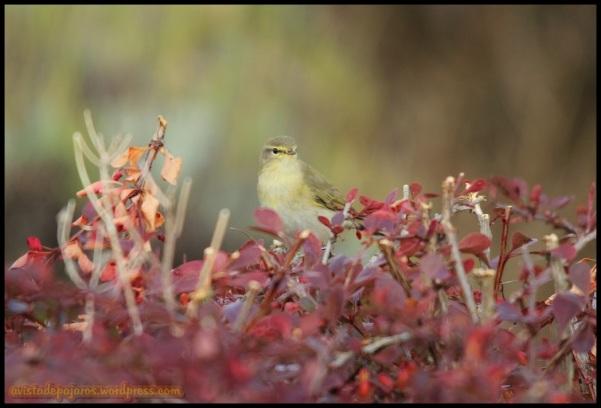 Mosquitero en arbusto (7-9-2014)