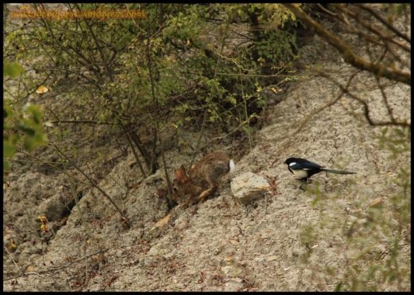 Conejo huyendo de la picaraza (20-9-2014)