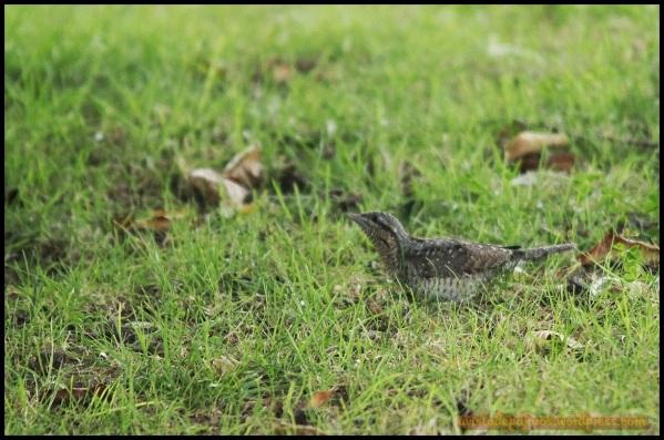 Torcecuello entre ñla hierba (13-9-2014)