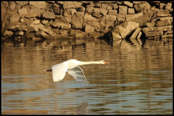 Cisne en pleno vuelo (17-10-2014)