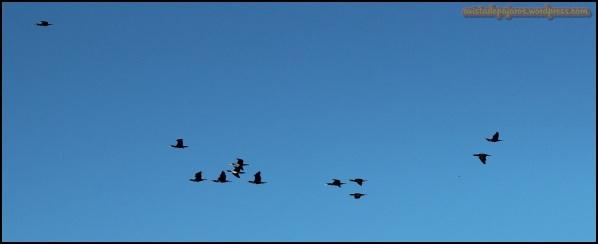 Cormoranes en vuelo (17-10-2014)