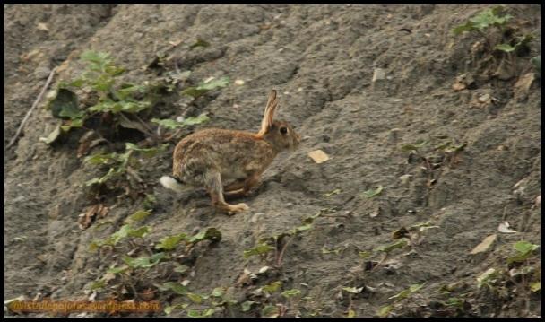 Conejo en plena carrera (24-9-2014)
