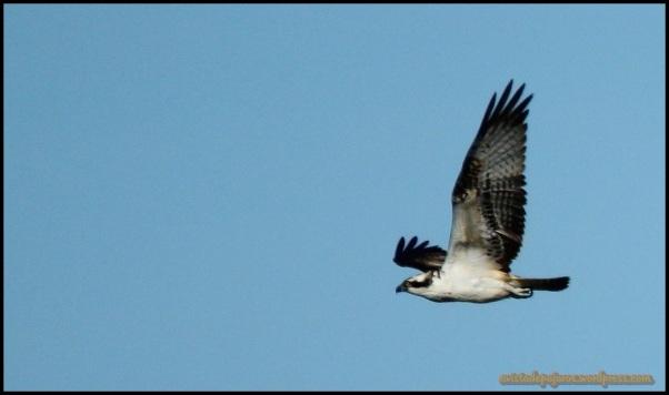 Pescadora en pleno vuelo (17-10-2014)