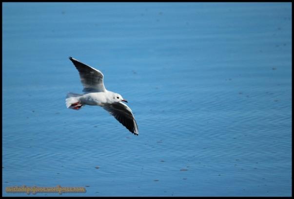 Gaviota reidora en vuelo (17-10-2014)