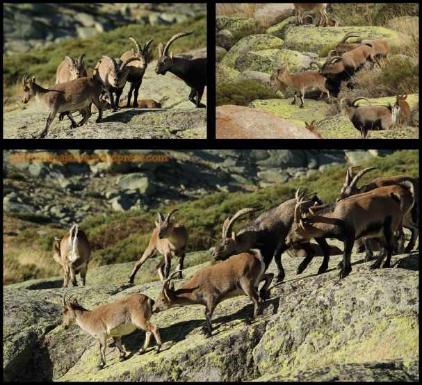 Acoso de machos (31-10-2014)