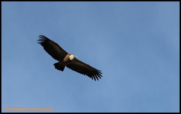 Buitre leonado en vuelo (3-11-2014)