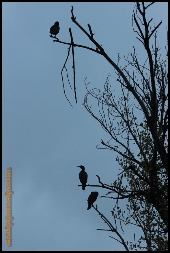 Cormoranes en sus posaderos anuales (6-11-2014)