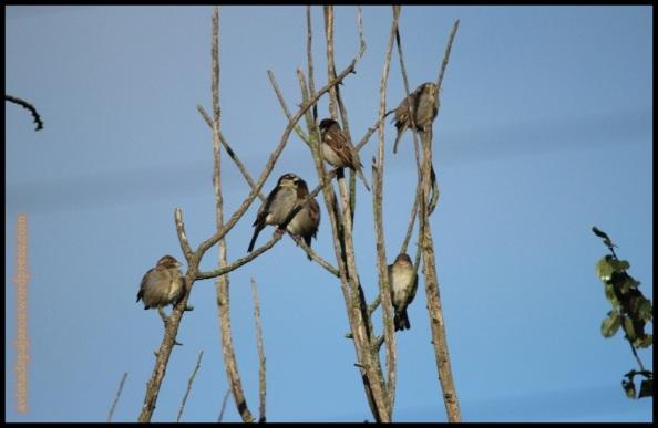 Gorriones comunes (10-11-2014)