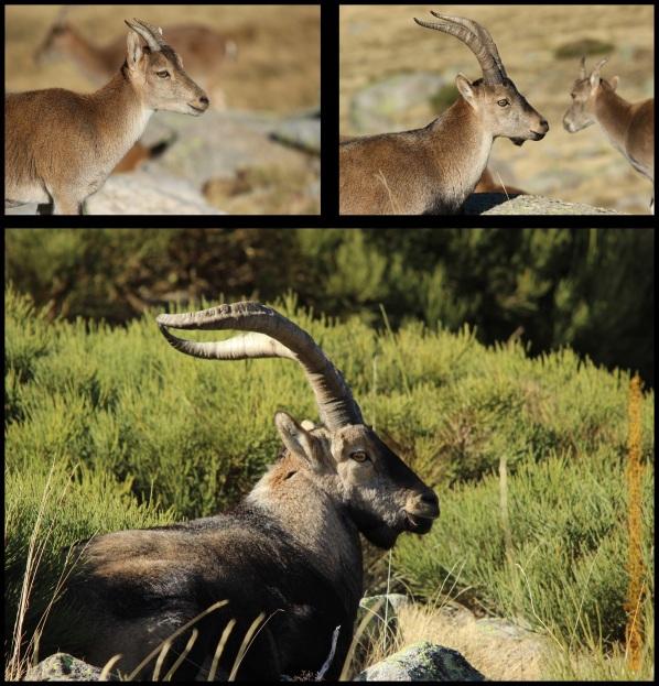 Hembra, macho joven y macho adulto (31-10-2014)