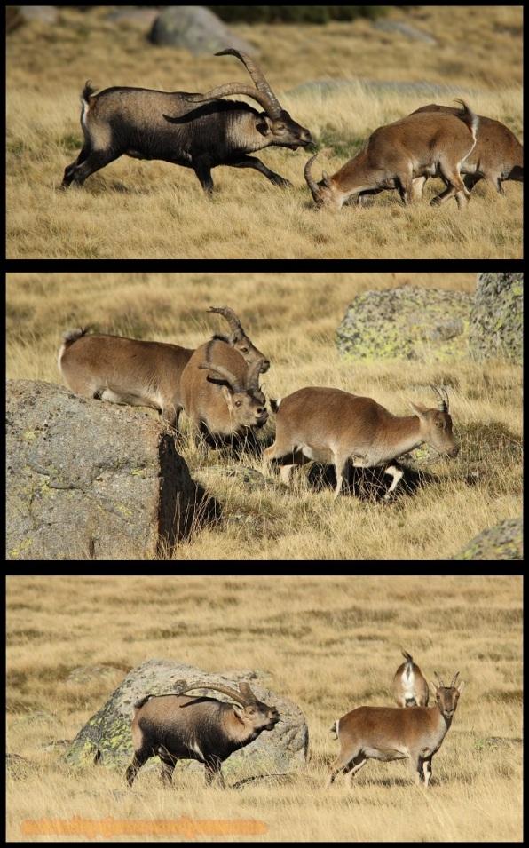 Machos tras varias hembras (31-10-2014)